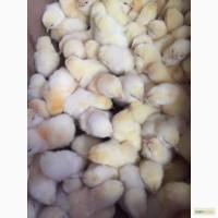 Продам цыплята суточных
