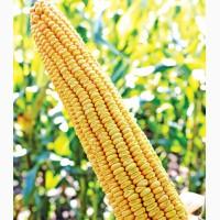 Семена кукурузы МТ Матадо от производителя Дау Сидс (Dow Seeds)