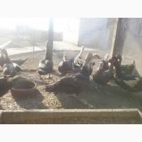 Утки мускусные коричневые