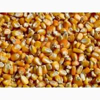 Кукуруза фуражная ГОСТ