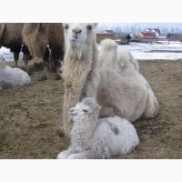 Продам верблюдов самок