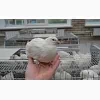 Продам инкубационное перепелиное яйцо