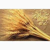 Закупаем пшеницу, горох, ячмень с места