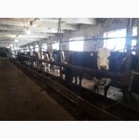 Дойные коровы Черно-пестрые улучшенные