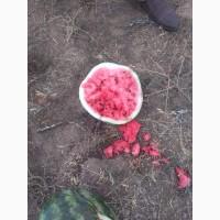 Арбуз урожай 2019г