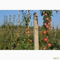 Свежие яблоки из Белоруссии