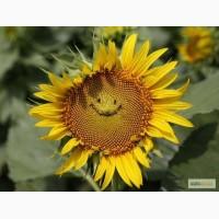 Гибриды семян подсолнечника - Сингента НК Неома - Syngenta NK Neoma - Clearfield