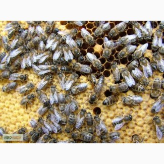 Пчелопакеты с бесплатной доставкой по России