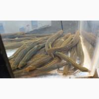 Живая рыба Вьюн для пруда