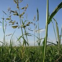ООО НПП «Зарайские семена» продает семена суданской травы оптом