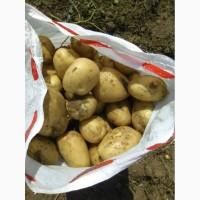 Картофель(Урожай 2019) оптом от производителя
