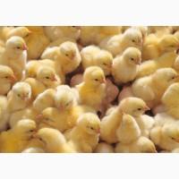 Цыплята бройлерные суточные РОСС-308, Цыплята бройлерные РОСС-308
