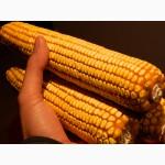 Продам семена кукурузы Краснодарский 291