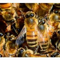 Пчелопакеты Карника на весну 2022 года