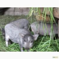 Вьетнамские поросята и супоросные свиноматка