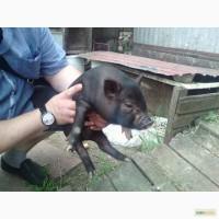 Продам свинок вьетнамских вислобрюхих