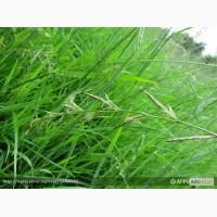 Продам:Семена фестулолиума ВИК 90
