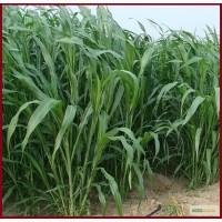 Семена суданки Краснодарская 75