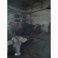 Продам коров, нетелей швицкой породы