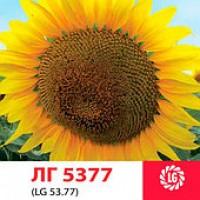 ЛГ 5377 гибрид подсолнечника ЛИМАГРЕЙН (Limagrain)