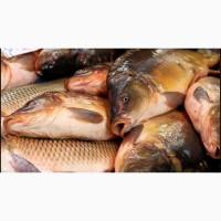 Продам живую рыбу малек карпа амура линя щуки