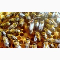 Пчеломатки Карника Крым