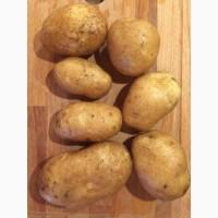 Картофель сорт Бриз, калибр 5