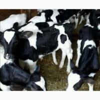Продам телят и бычков