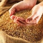 Семена яровой пшеницы (мягкая, твердая)