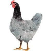 Инкубационное яйцо кур Доминант