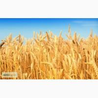 Семена озимой пшеницы (Кубанская): Гром, Таня, Москвич и др
