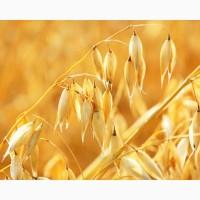 Семена ярового овса Конкур, Валдин-765