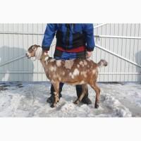 Покрытая племенная нубийская коза