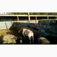 Племенное хозяйство продаст баранов породы Дорпер