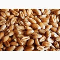 Семена яровой пшеницы Дарья. Элита