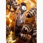 Пчеломатки карника, карпатка, бакфаст, кордован