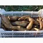 Якон, батат, топинамбур-корни и клубни