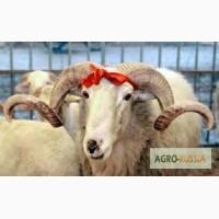 Живые овцы, барашки на продажу в Уфе. Мечеть Мадина в Инорсе