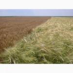 Поставка пшеницы 5 класса