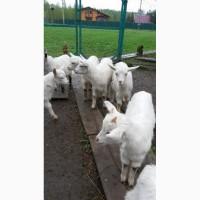 Продам козлят от высокоудойных коз