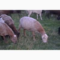 Продам овец живьем