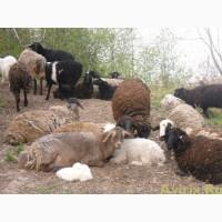 Стадо овец эдельбай