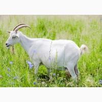 Коза дойная, козлята крупные, продам
