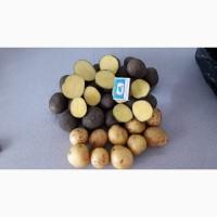 Семенной картофель оптом Гала 1 репродукции напрямую от производителя