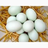 Инкубационное яйцо утки Агидель, Стар-53 круглый год