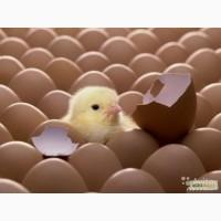 Продажа инкубационного бройлерного яйца