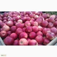 Яблоки Флорина оптом