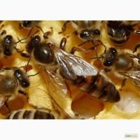 Пчеломатки плодные. Карпатка Карника