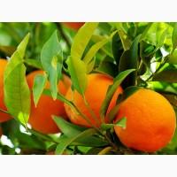 Мандарины Clementine
