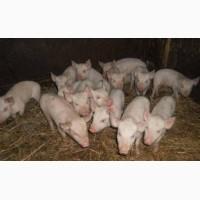 Поросята на откорм мясо-сальные здоровые, крепкие